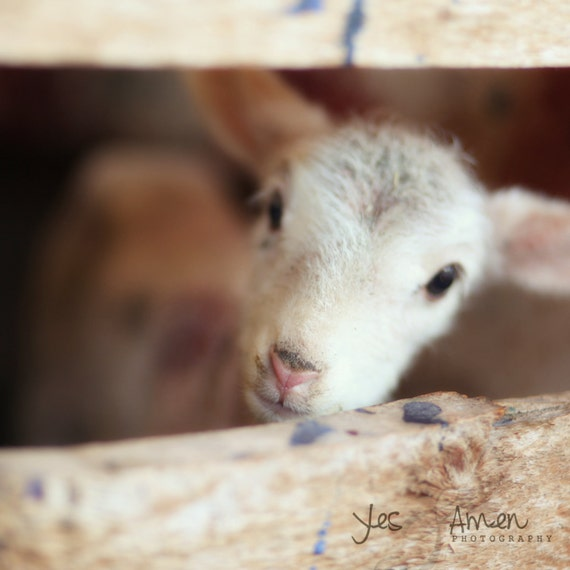 peace - fine lamb photography (and so farm fresh)