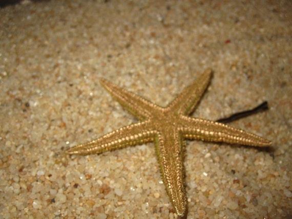 NATURAL starfish bobby pin  GOLD