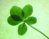 Macro Lucky Green Five Leaf Clover with Green Background Wall Art Photo Print Fine Art Photography