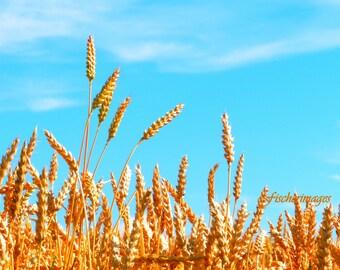 Wheat Field Landscape with Bright Blue Sky Wall Art Photo Print Fine Art Photography