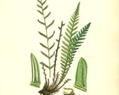 Antique Fern Print  By Sowerby