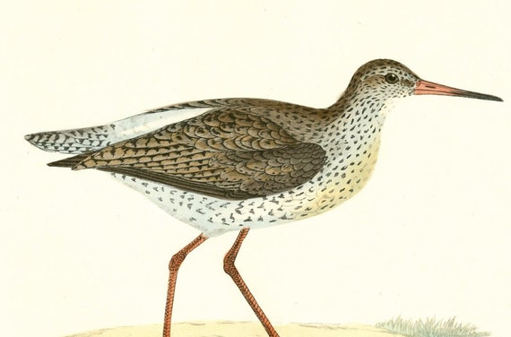 Antique Bird Print by Morris 120 Year Old Wood Block Engraving of a Red Shank