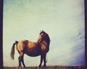 Horse photo, stallion, mare, brown, equine, blue sky, country, vintage, retro, home decor, 4x4 fine art print.