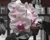 Pink Phalaenopsis - 8x10 Fine Art Photograph