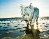 I am Crumpet 2 - Westie - West Highland terrier - Dog Photo - Nature Photography