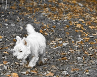 I am Crumpet 6 - West Highland terrier - Westie - Dog Photography - Wall Décor - Nature Photography