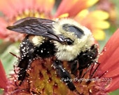 Photography Art- 8x10 Pollen Dusted Bee
