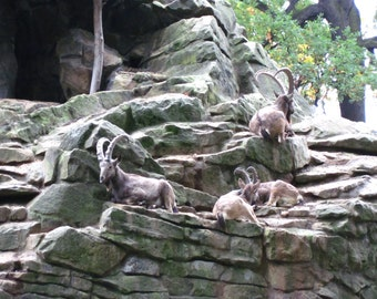 Copy of A picture of some mountain goats