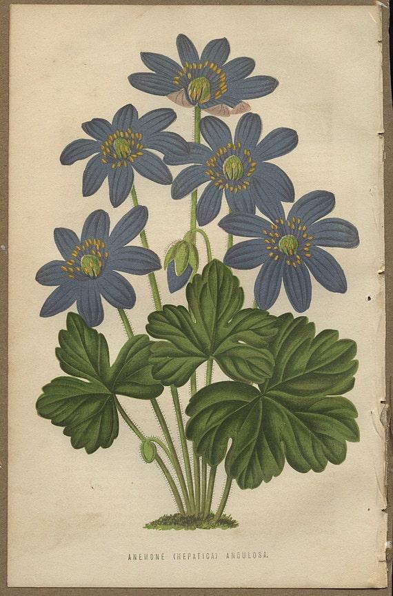 Antique 1875 Chromolithograph Print of Flowers / Hepatica
