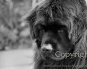 5x7 Black and White Art Photography Newfoundland Dog Print by Angelica