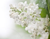 White lilac  Postcard - Fine Art Photograph