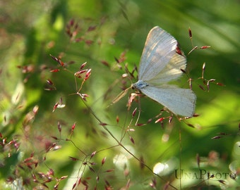White Butterfly - Elegant Home Decor - Fine Art Photograph