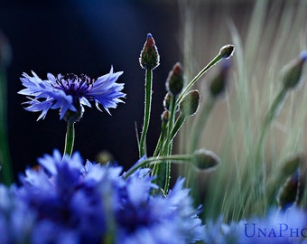 Cornflower - Fine Art Photograph