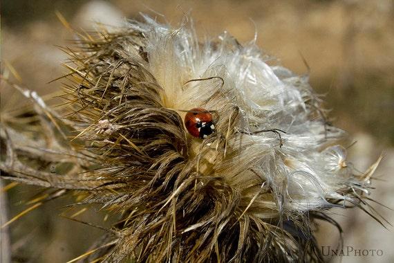 Fluffy wildflower and ladybug - Fine Art Photograph