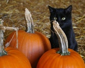 Black Cat Halloween Pumpkin Series 8x12 Fine Art photographic print Orange