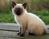 Siamese Kitten 5x7 Fine Art Photographic Print Blue Eyes Brown White Farm