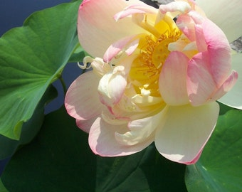 Pink Lotus Flower in Aquatic Serenity Garden 5x7 Fine Art Photographic Print home decor green leaves gift