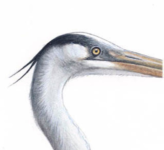 Great Blue Heron - Giclee Print of Original Watercolor Painting