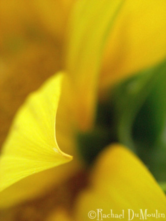 photograph - 5x7, matted, sunflower, macro, lustre print