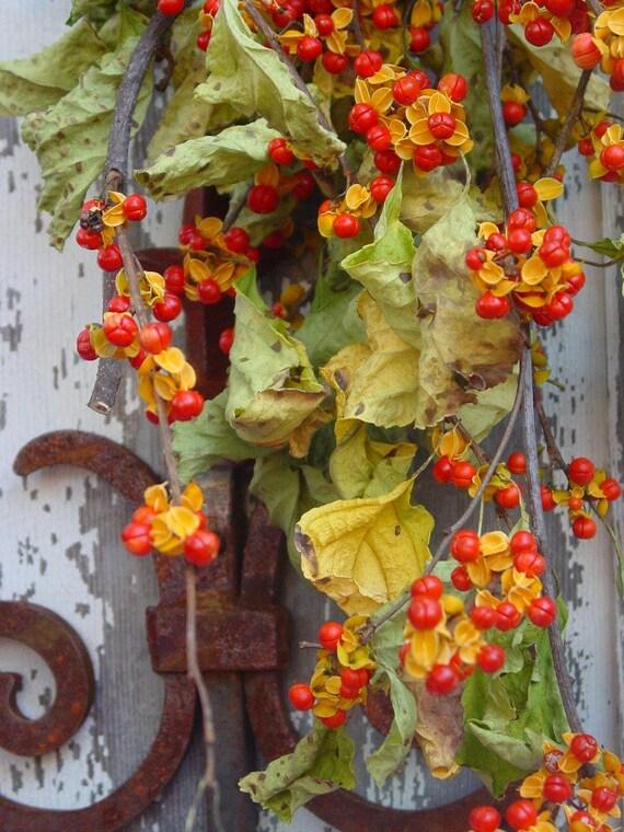Dried American Bittersweet 2011 Crop