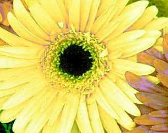 Spring Flower Gerbera 5 x 7 Pastel Yelllow  Signed Giclee Art Print A Touch of Spring