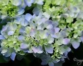 SALE - Photography Print - Spring, Blossom, Flowers, Hydrangea, Blue, Flower, Petals - 8x10