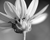 COMELY Black and White 9x12 Metallic ORIGINAL Fine ART Photographic Print Flower Ethereal Nature Macro Organic