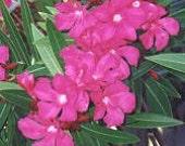 """Oleander """"Hardy Red"""" - 20 seeds"""