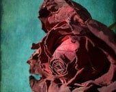 Clearance Photograph Rose Burgundy on Teal Free Shipping - 5X7 Size