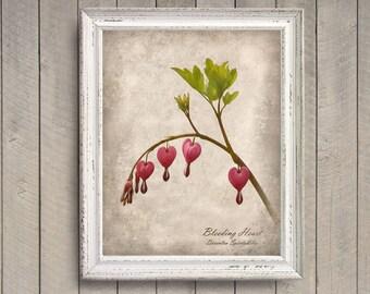 Bleeding Heart Botanical Print - Vintage Style Original Photograph - Nature Specimen Distressed Aged Home Decor Flowers Wall Art