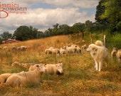 Sheep Dog - Original Photograph 8x10 - Farm Pasture Field Rural Scene Country Warm Peaceful