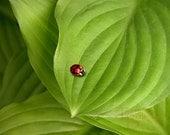 Ladybug on Hostas - Original Photograph - Summer Garden Woodland Forest Green Leaves Backyard Bug Red