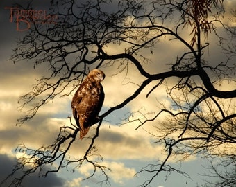 Red-Tailed Hawk - Original Photograph - Surreal Nature Tree Branches at Dusk Predator Bird of Prey Woodland Home Decor Wall Art