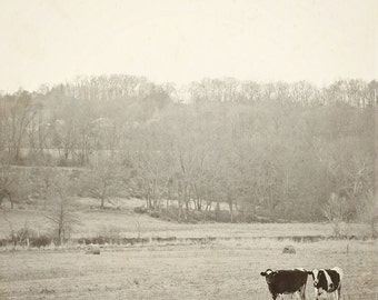 Cow Photography, Black and White Vintage Inspired,  Nature Farm Country, Rustic Home Decor, Shabby Chic, Fine Art Photography
