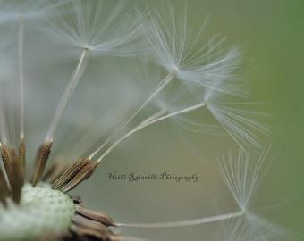 Dandelion Study Macro Flower Photograph - 5x7 Photograph