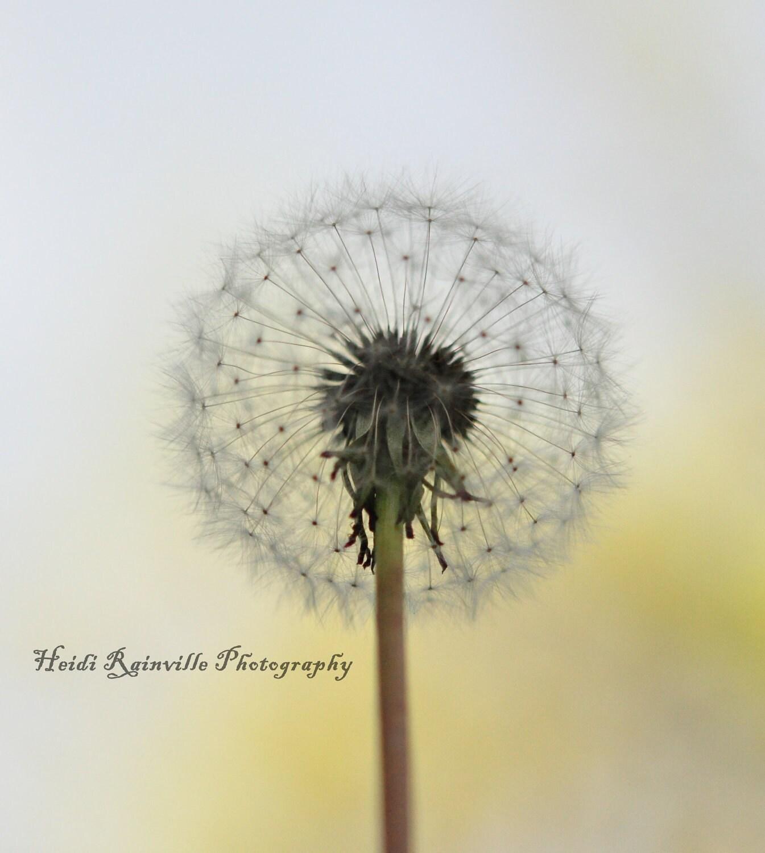 White Wish Flower Dandelion Macro Square 8x8 by heidirainville
