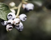 Fresh Blueberries - Fine Art Photograph - Blueberries in a Field - Fine Art Photography by Michelle Bodamer