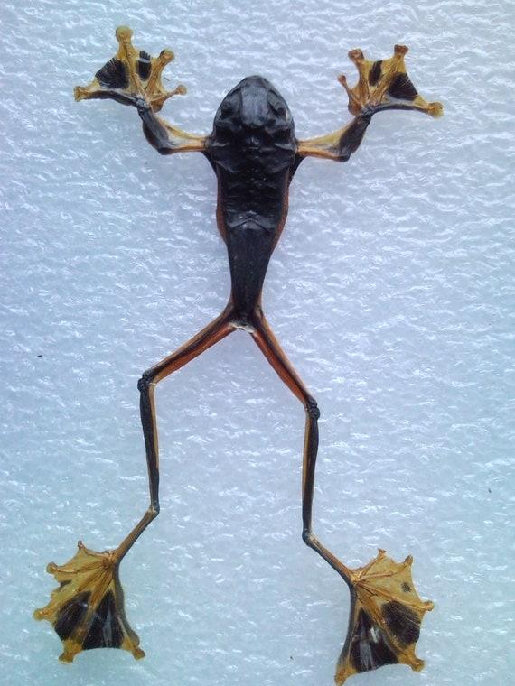 Tree Frog Specimen Purple & Gold  Male - SHIP FREE