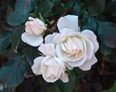 White Rose - Etsy Banner