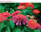 Shop Closing 60% OFF SALE Lilliput Zinnia Flowers Seed Packet