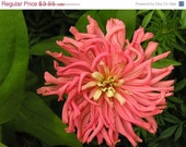 Shop Closing 60% OFF SALE Giant Cactus Zinnia Flowers Seed Packet