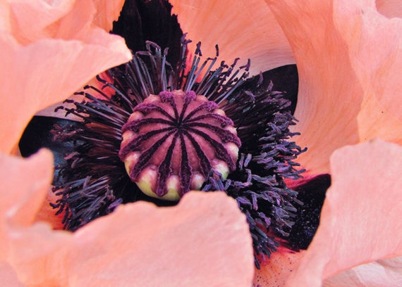 Macro Flower- Spring Coral and Purple Poppy 5x7 Photograph