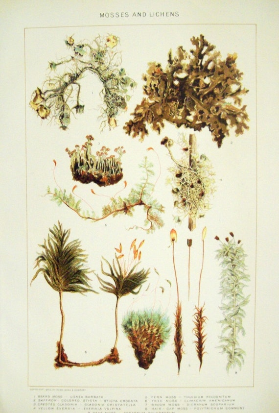 1902 Antique Chromolithograph of Mosses and Lichens