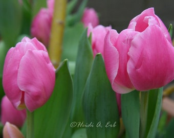 Pink Tulips-Flower-nature- photography-photo-print- Fine Art Photography-notecard-card-Greeting card