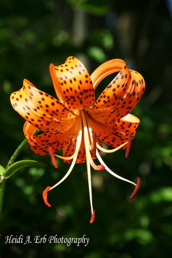 Flower photography, flower print, Tiger lilly photography, photo, nature photography, photo notecard, flower card, flower  note card
