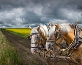 Team of Heavy Work Horses by a Canola Field in Southern Alberta Canada A Fine Art Landscape Photograph