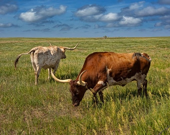 Longhorn Cattle on the Prairie by 1880 Town in South Dakota A Western Animal Photograph