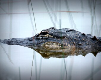 Alligator emerging from the Swamp Water in the Everglades National Park in Florida No.094 - A Fine Art Wildlife Photograph