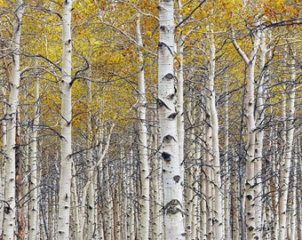 Grove of Birch Trees in Autumn No. 0642 - A Fall Landscape Photograph