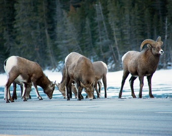 Mountain Sheep along the road during winter in Jasper National Park Alberta Canada a Wildlife Animal Photograph